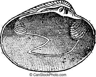 Veneridae or venerids, vintage engraving - Veneridae or...