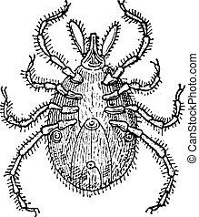 Tick parasite, vintage engraving.