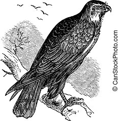 Buteo buteo or Common Buzzard, raptor, vintage engraving -...