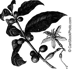 Coffea, or Coffee shrub and fruits, vintage engraving...