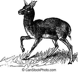 Dorcas Gazelle or Gazella dorcas vintage engraving - Dorcas...