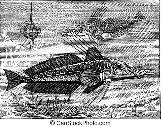 Armored Searobin or Peristediidae, vintage engraving -...