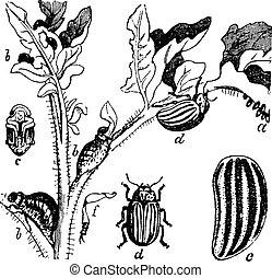 Colorado Beetle Colorado Potato Beetle or Leptinotarsa...