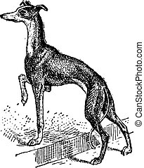 Greyhound, vintage engraving - Greyhound, showing female...