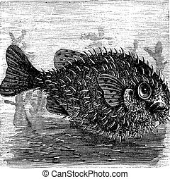 Long-spine Porcupine Fish or Spiny Balloon Fish or Diodon...