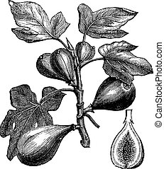 Common Fig or Ficus carica, vintage engraving. Old engraved...