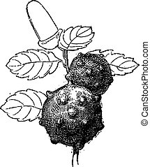 Oak Apple or Oak Gall, vintage engraving - Oak Apple or Oak...