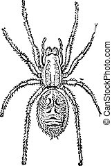 Tarantula vintage engraving - Old engraved illustration of...