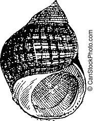 Periwinkle or Littorina sp, vintage engraving - Periwinkle...