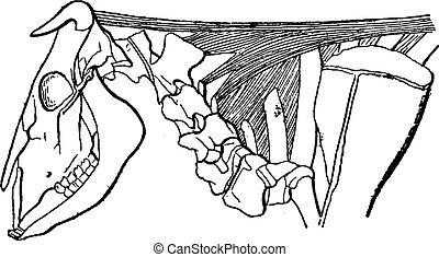 Cervical Ligament in Cattle, vintage engraving - Cervical...