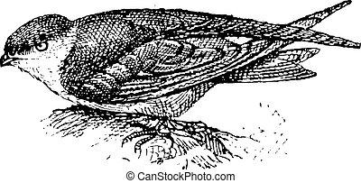 Swiftlet, vintage engraving. - Swiftlet, vintage engraved...
