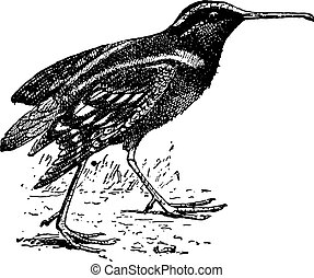 Snipe or Scolopacidae, vintage engraving - Snipe or...