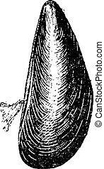 Marine Mussel, vintage engraving - Marine Mussel, vintage...
