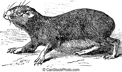 Kerodon rupestris or cavy vintage engraving Old engraved...