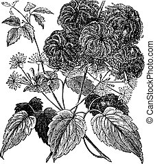 Devil's Darning Needles or Devil's Hair or Love Vine or Traveller's Joy or Virgin's Bower or Virginia Virgin's Bower or Wild Hops or Woodbine or Clematis virginiana vintage engraving