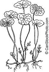 Hydrocotyle vulgaris or Marsh Pennywort, vintage engraving....