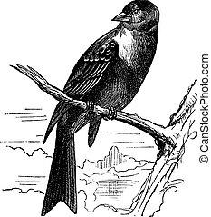 Ortolan bird, Emberiza hortulana or Ortolan Bunting, vintage...