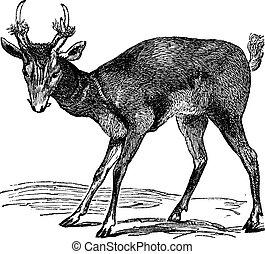 Common muntjac (cervulus vaginalis) or Barking deer, vintage...