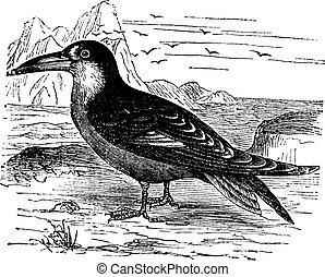 Black Skimmer or Rynchops niger vintage engraving - Black...