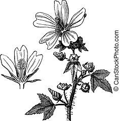 Common mallow or Malva sylvestris vintage engraving