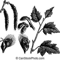 White Poplar or Populus alba, vintage engraving - White...