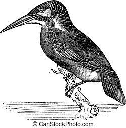 Common Kingfisher or Alcedo ispida vintage engraving -...