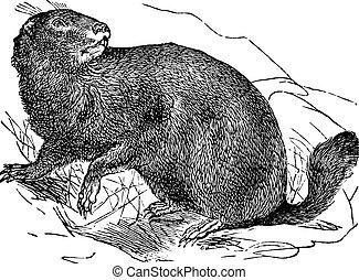 Alpino, marmotta, o, Marmota, Marmota, vendemmia, incisione,...