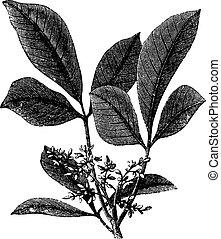 Siphonia elastic or Elastic- gum tree vintage engraving -...