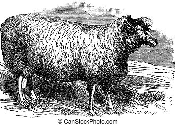 Leicester sheep or Bakewell Leicester, vintage engraving -...