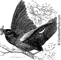 Eastern bluebird or Sialia sialis vintage engraving