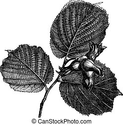 Hazel or Corylus sp., vintage engraved illustration - Hazel...