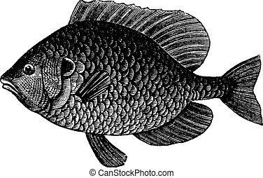 Pumpkinseed Sunfish or Lepomis gibbosus, vintage engraving -...