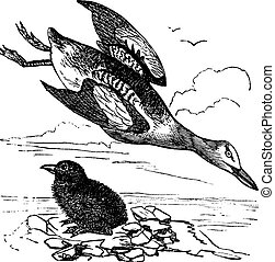 Guillemot and young winter plumage vintage engraving Old...