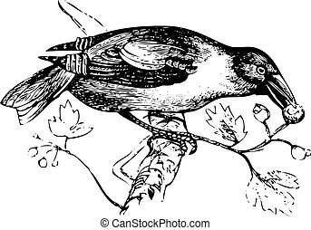 An old engraving of a hawfinch or grosbeak eating - An old...