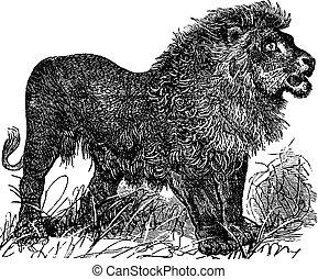 African Lion vintage engraving