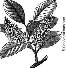 cherry laurel (Prunus laurocerasus) or Cherry laurel vintage engraving