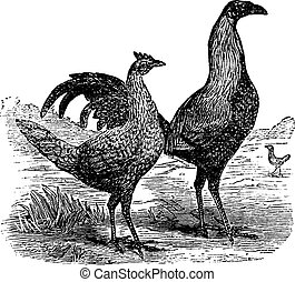 Fighting cock with its hen vintage engraving