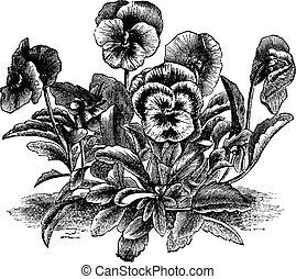 Heartsease or Viola tricolor vintage engraving - Heartsease...