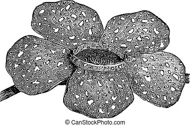 Rafflesia arnoldii or Rafflesia titan vintage engraving -...