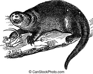 North American river otter or Lontra canadensis vintage engraving