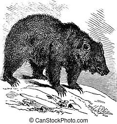 JACK Bear (Ursus horribilis), vintage engraving - JACK Bear...