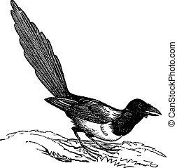 Black-billed Magpie (Pica hudsonia), vintage engraving. -...