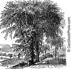 American elm or Ulmus Americana, vintage engraving -...