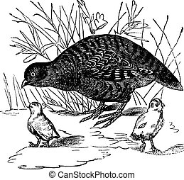 Grey Partridge or Perdix perdix, vintage engraving - Grey...