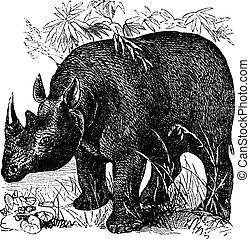 Black Rhinoceros or Diceros bicornis vintage engraving -...