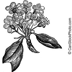 Pear or Pyrus sp., vintage engraving - Pear or Pyrus sp.,...