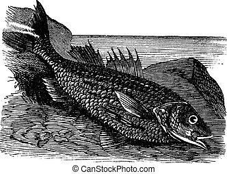 Labrax lines (labrax lineatus) vintage engraving. Old...