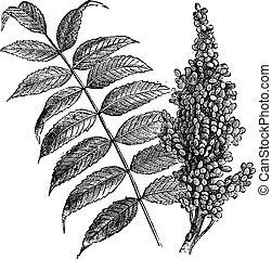 Smooth sumac (Rhus glabra), vintage engraving.