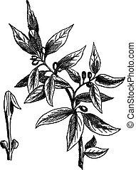 Bay leaves (Laurus nobilis) or sweet bay, vintage engraving...