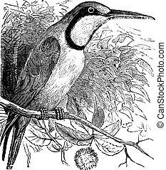 European Bee-eater Merops nubicus vintage engraving Old...